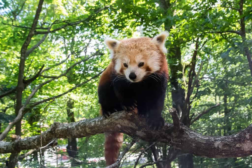 Röd panda på Nordens Ark. Foto Erik Edvardsson
