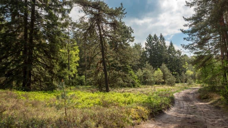 Kiefernwald in der Heide 1