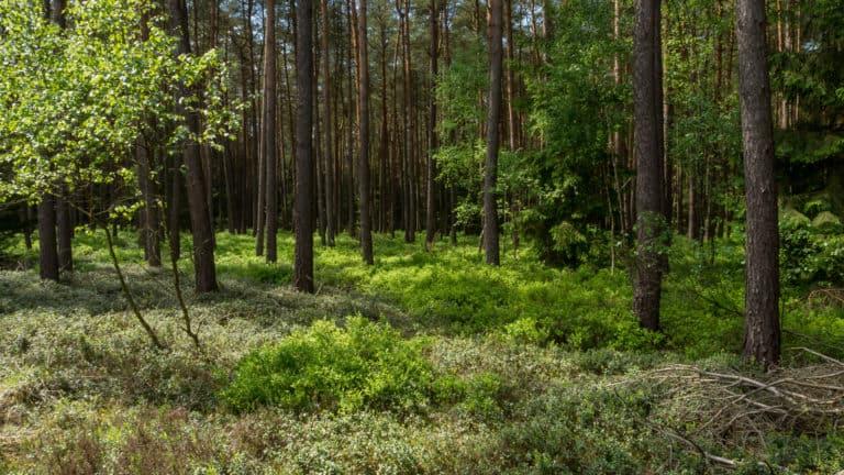 Kiefernwald in der Heide 2