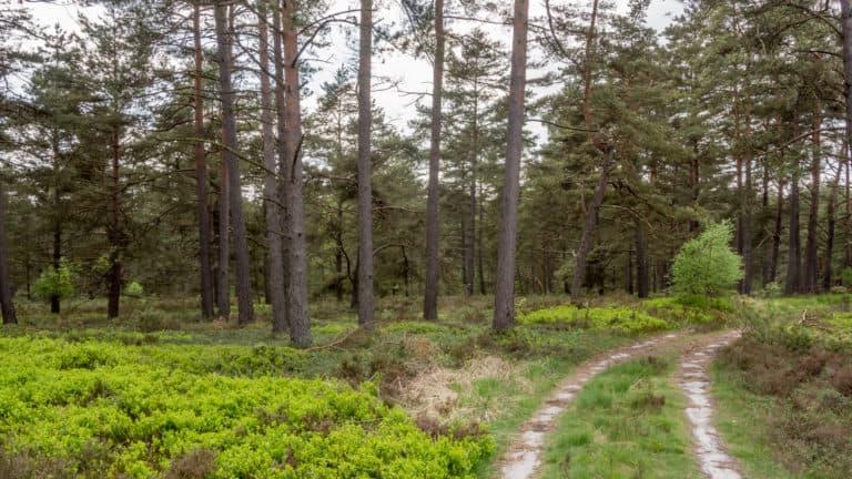 Kiefernwald in der Heide 3