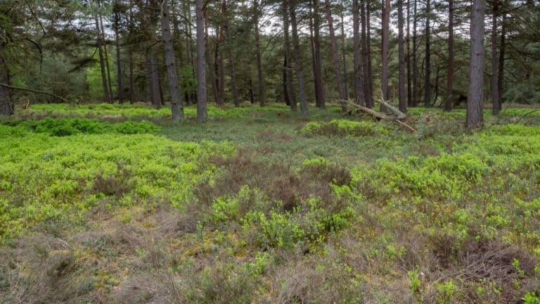 Kiefernwald in der Heide 4