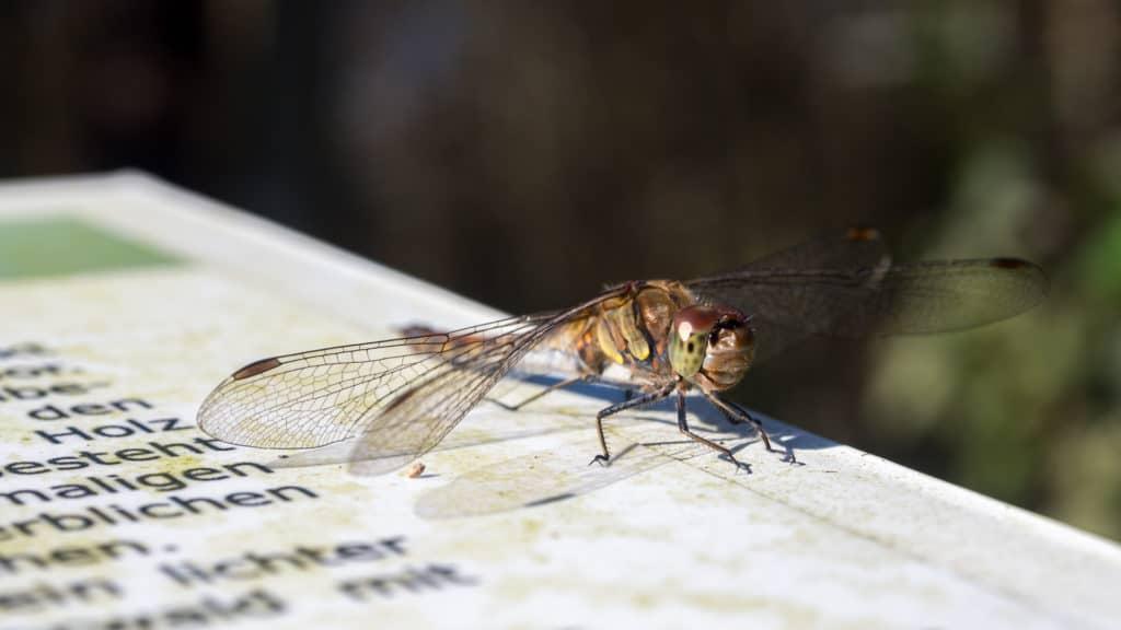 Libelle auf der Hinweistafel