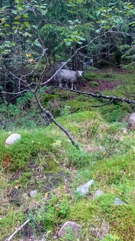Schafe im Wald 2
