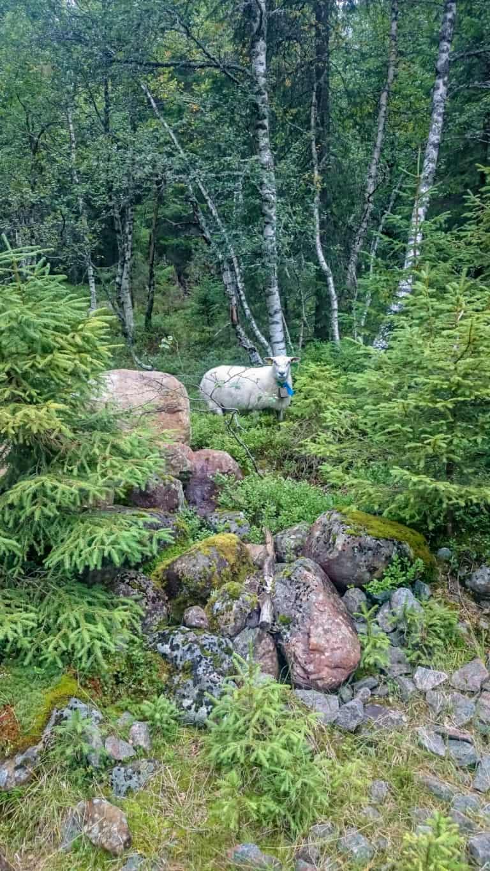 Schafe im Wald 4