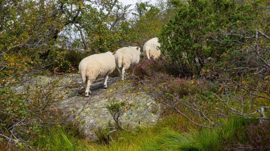 Schafe an den Hängen 2