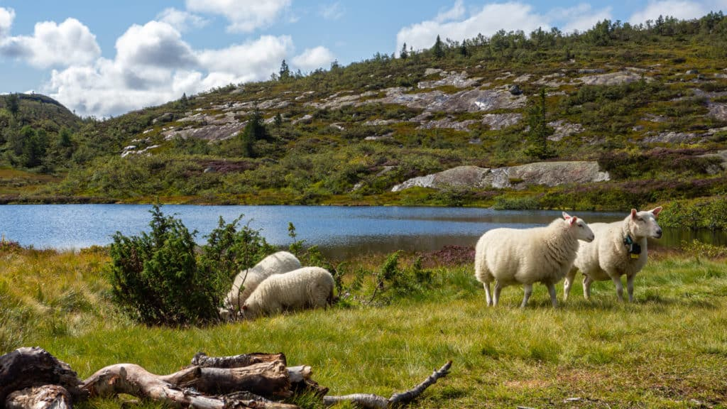 Schafe auf einer Bergwiese