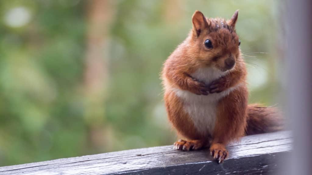 Eichhörchen 1