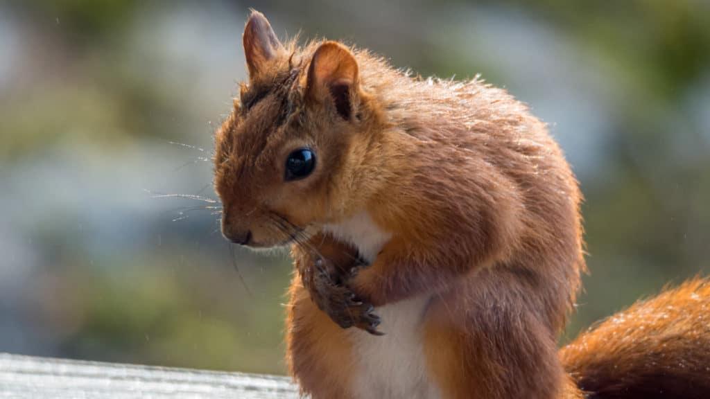 Eichhörchen 2